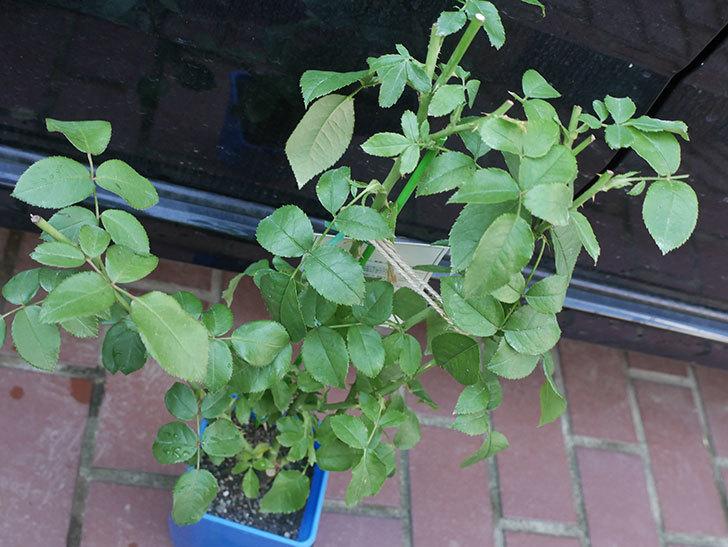 パトラッシュ(Patrache)の新苗を京成バラ園芸ネット通販で買った。半ツルバラ。2020年-003.jpg