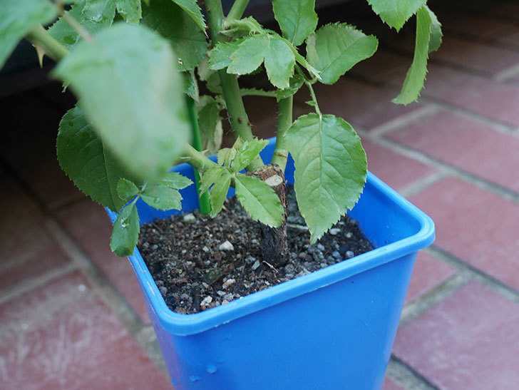 パトラッシュ(Patrache)の新苗を京成バラ園芸ネット通販で買った。半ツルバラ。2020年-004.jpg