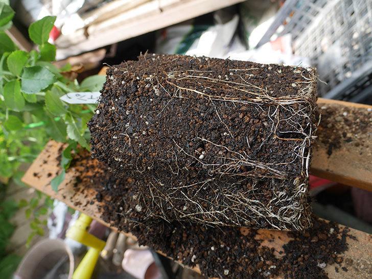 パトラッシュ(Patrache)の新苗をEUスリット鉢 EU-24L(8号深鉢)に植え替えた。半ツルバラ。2020年-004.jpg
