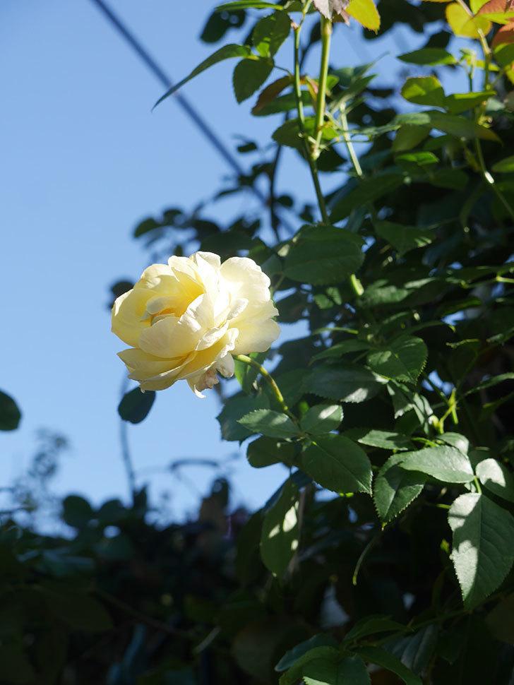 パトラッシュ(Patrache)の秋花が咲いた。半ツルバラ。2021年-006.jpg