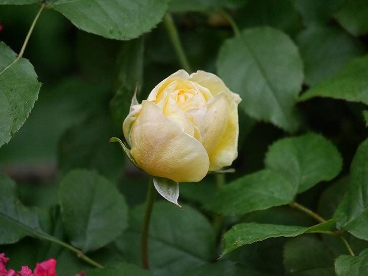 パトラッシュ(Patrache)の花が咲いた。半ツルバラ。2021年-001.jpg