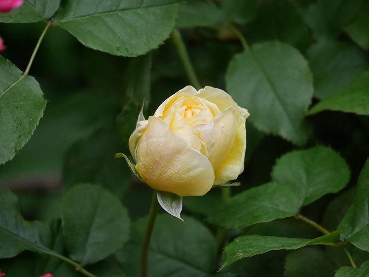 パトラッシュ(Patrache)の花が咲いた。半ツルバラ。2021年-002.jpg