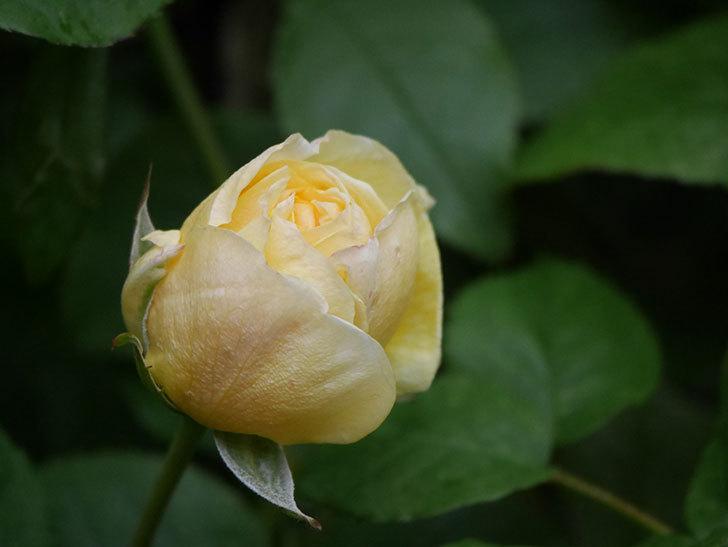 パトラッシュ(Patrache)の花が咲いた。半ツルバラ。2021年-003.jpg