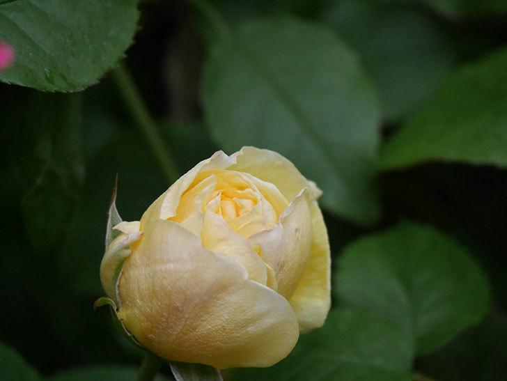 パトラッシュ(Patrache)の花が咲いた。半ツルバラ。2021年-004.jpg