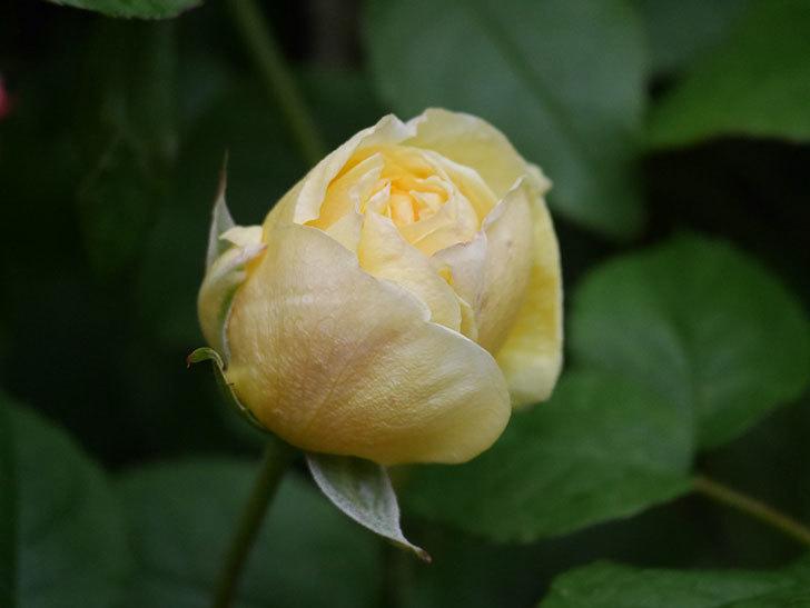パトラッシュ(Patrache)の花が咲いた。半ツルバラ。2021年-005.jpg