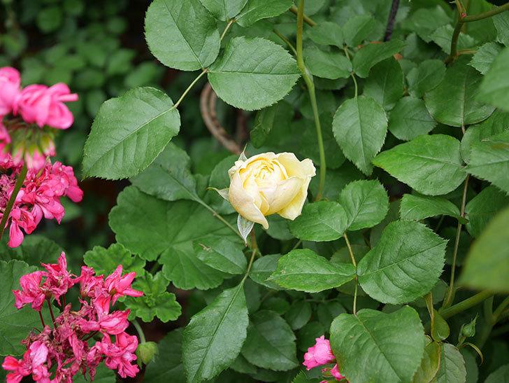 パトラッシュ(Patrache)の花が咲いた。半ツルバラ。2021年-006.jpg