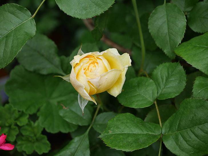 パトラッシュ(Patrache)の花が咲いた。半ツルバラ。2021年-007.jpg