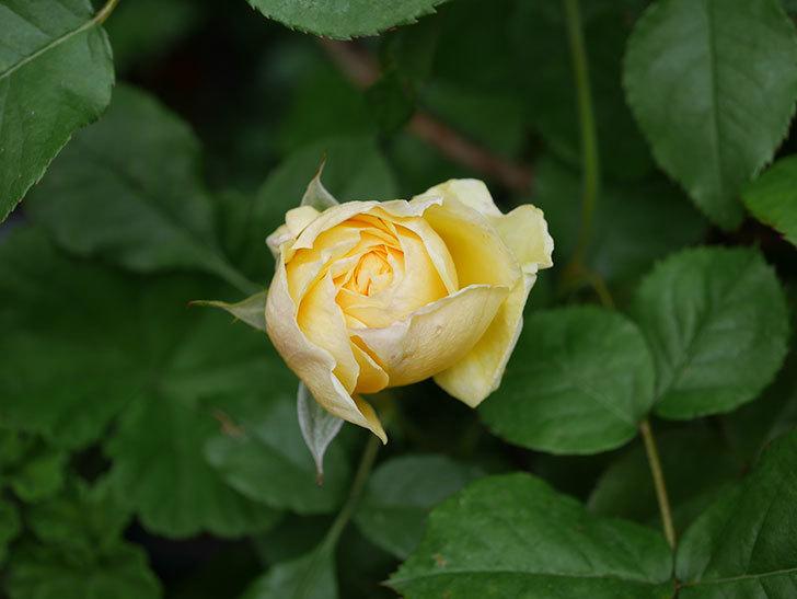 パトラッシュ(Patrache)の花が咲いた。半ツルバラ。2021年-008.jpg