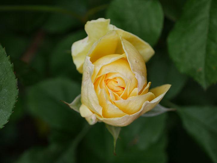 パトラッシュ(Patrache)の花が咲いた。半ツルバラ。2021年-009.jpg