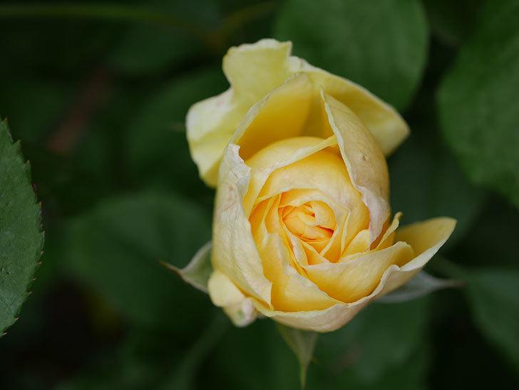 パトラッシュ(Patrache)の花が咲いた。半ツルバラ。2021年-010.jpg