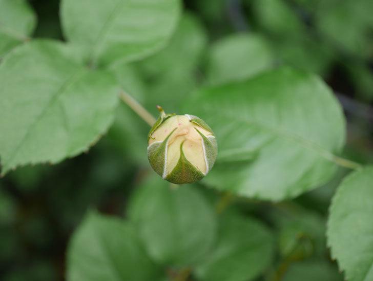 パトラッシュ(Patrache)の花が咲いた。半ツルバラ。2021年-013.jpg