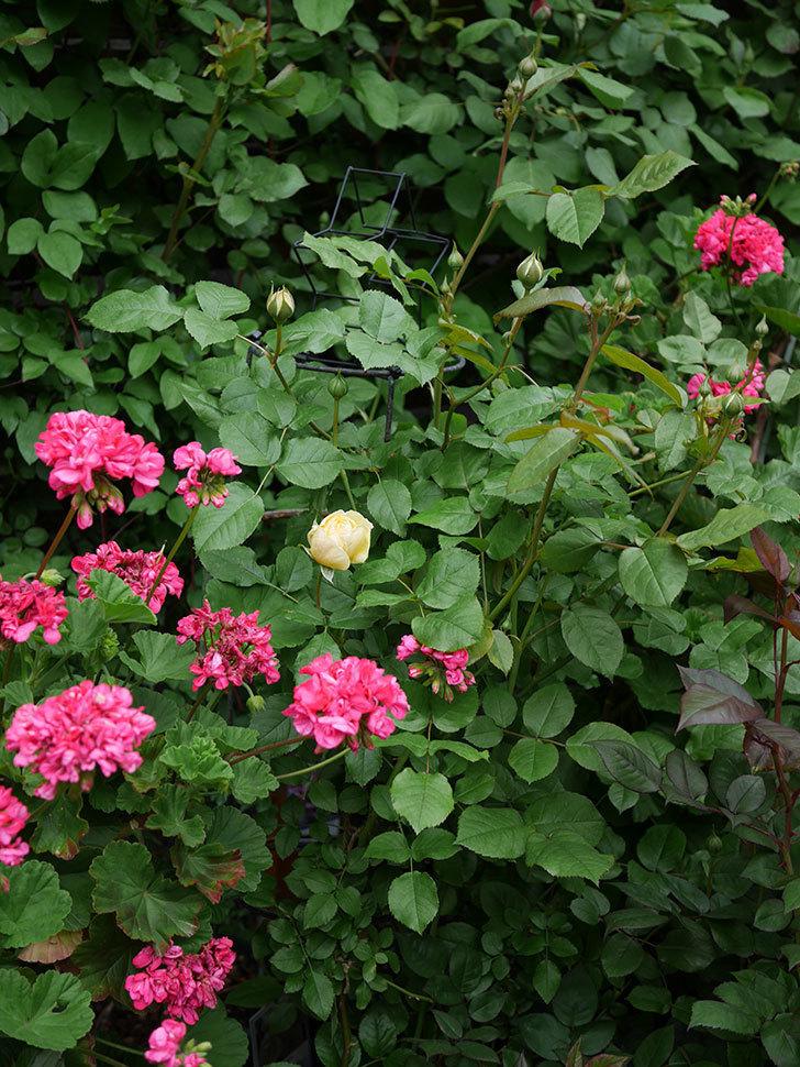 パトラッシュ(Patrache)の花が咲いた。半ツルバラ。2021年-014.jpg