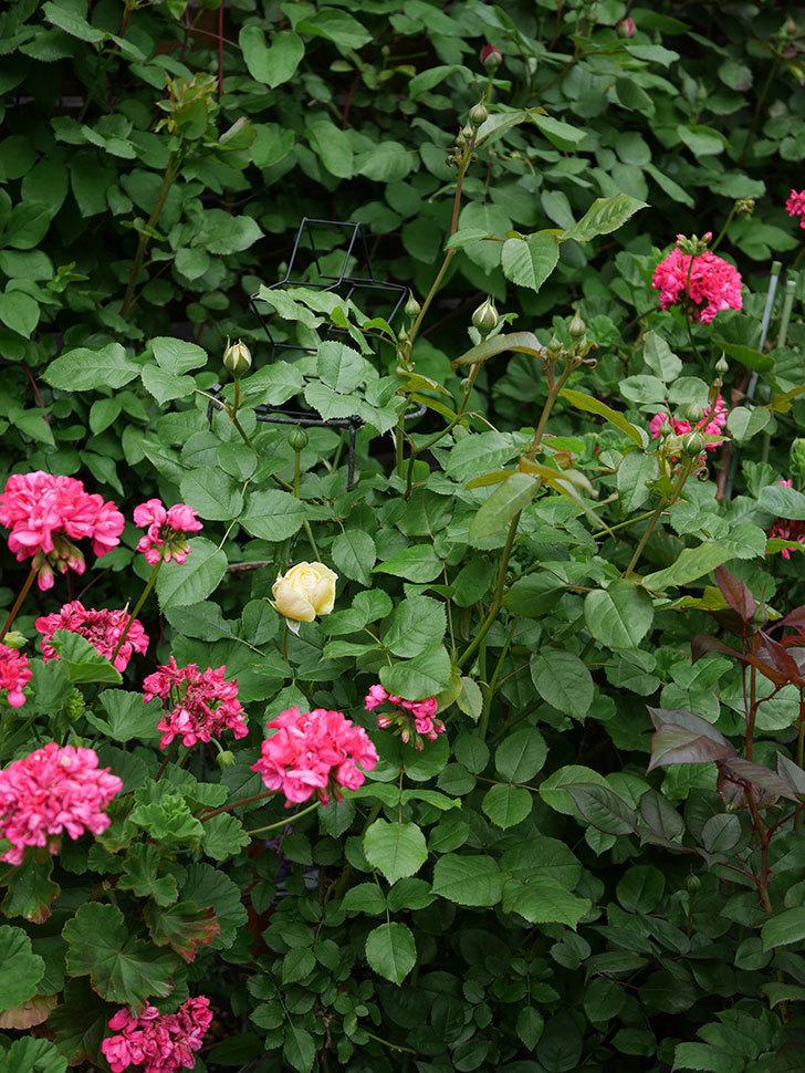 パトラッシュ(Patrache)の花が咲いた。半ツルバラ。2021年-015.jpg