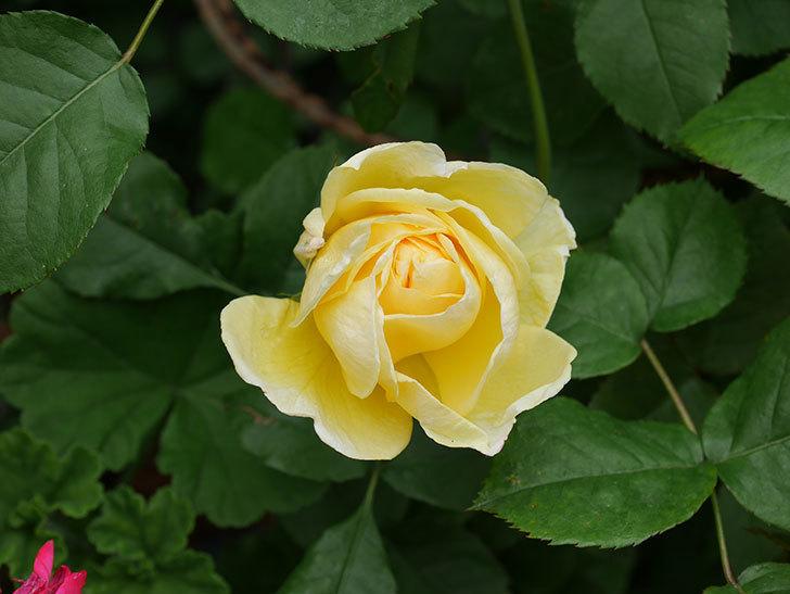 パトラッシュ(Patrache)の花が咲いた。半ツルバラ。2021年-016.jpg