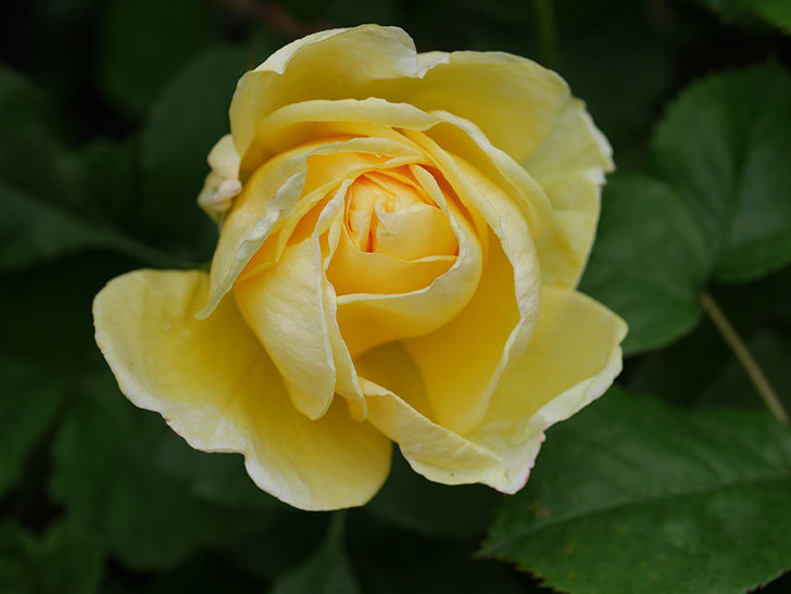 パトラッシュ(Patrache)の花が咲いた。半ツルバラ。2021年-017.jpg