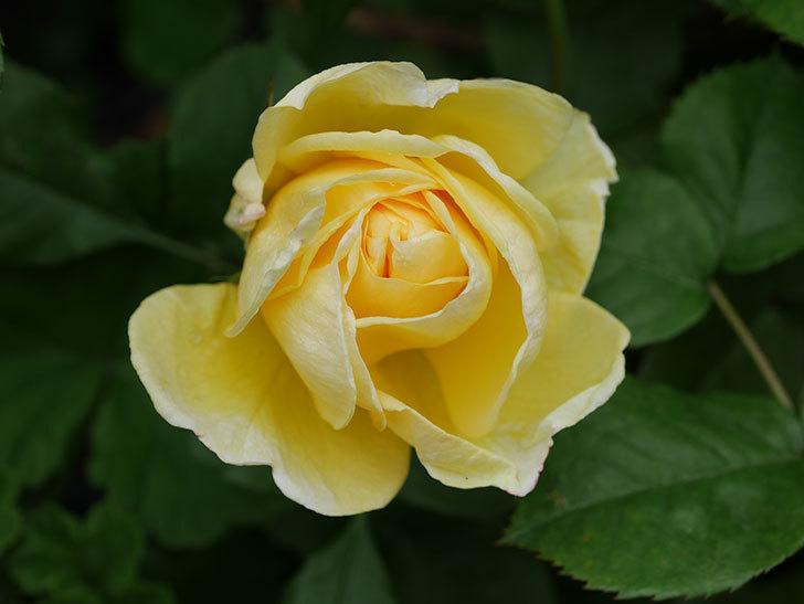 パトラッシュ(Patrache)の花が咲いた。半ツルバラ。2021年-019.jpg