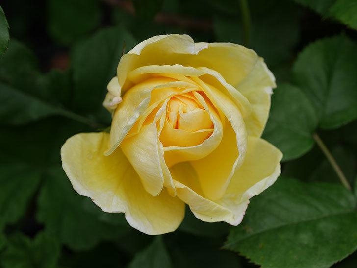 パトラッシュ(Patrache)の花が咲いた。半ツルバラ。2021年-021.jpg