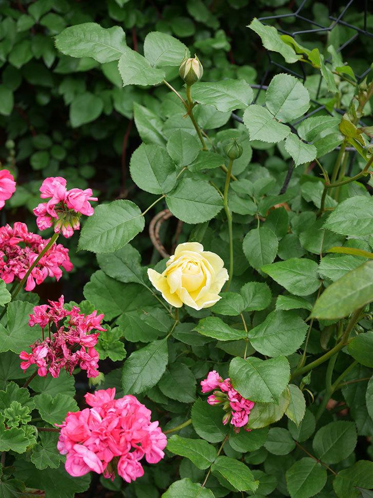パトラッシュ(Patrache)の花が咲いた。半ツルバラ。2021年-022.jpg