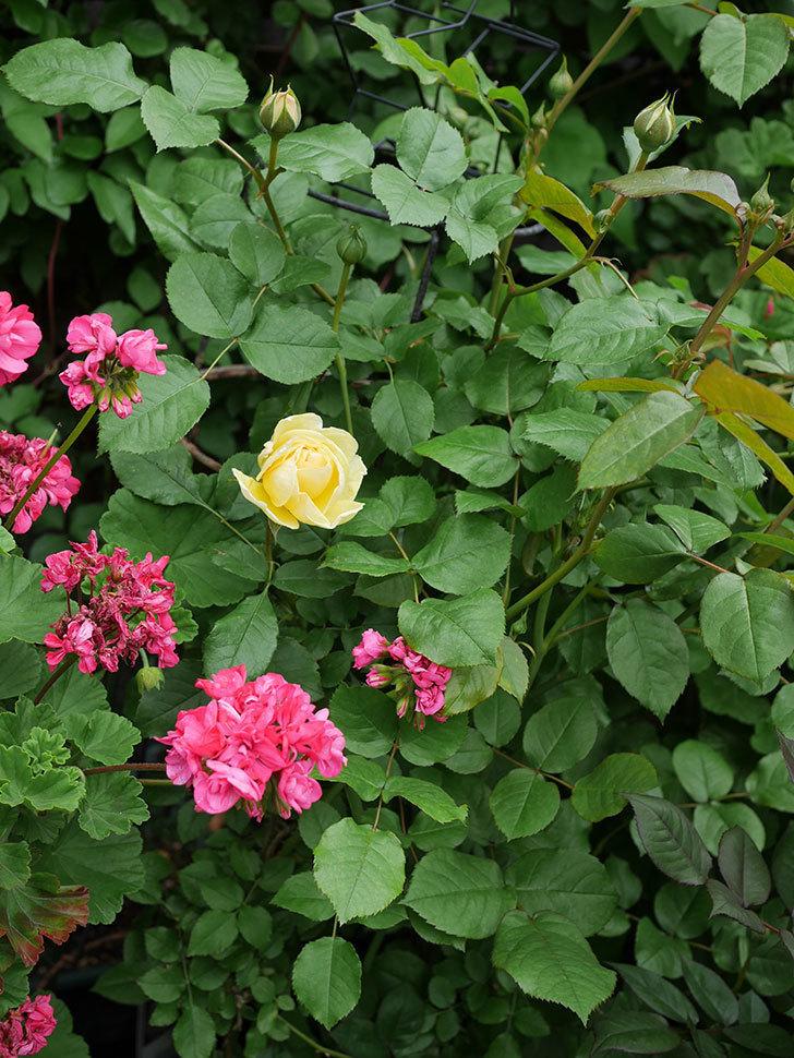 パトラッシュ(Patrache)の花が咲いた。半ツルバラ。2021年-023.jpg