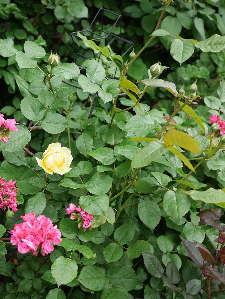 パトラッシュ(Patrache)の花が咲いた。半ツルバラ。2021年-025.jpg