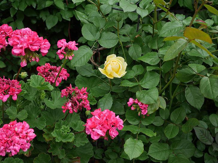 パトラッシュ(Patrache)の花が咲いた。半ツルバラ。2021年-026.jpg
