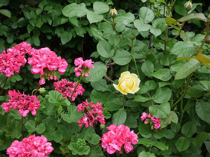 パトラッシュ(Patrache)の花が咲いた。半ツルバラ。2021年-027.jpg