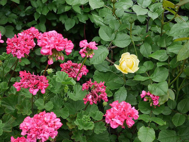 パトラッシュ(Patrache)の花が咲いた。半ツルバラ。2021年-028.jpg