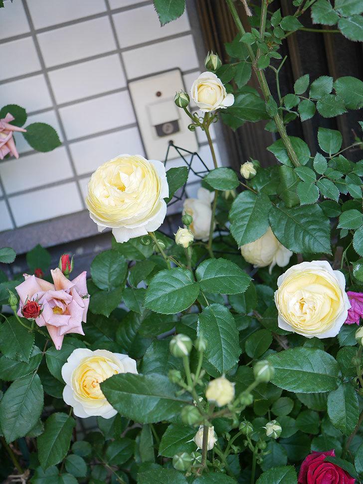 パトラッシュ(Patrache)の花が増えてきた。半ツルバラ。2021年-018.jpg