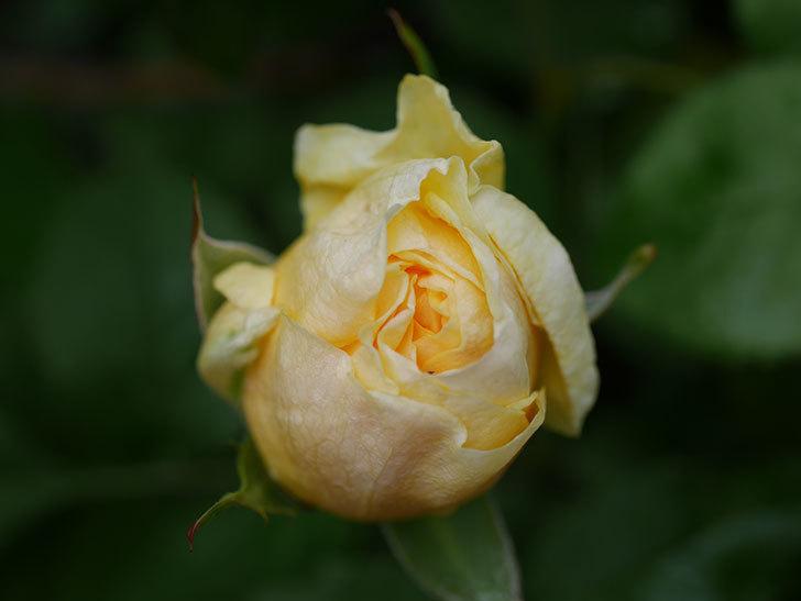 パトラッシュ(Patrache)の花が少し咲いた。半ツルバラ。2021年-004.jpg