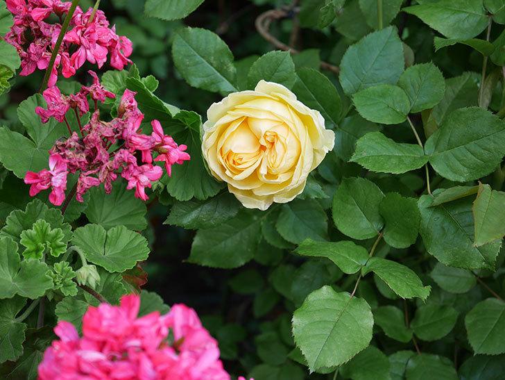 パトラッシュ(Patrache)の花が綺麗に咲いた。半ツルバラ。2021年-001.jpg