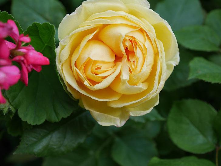 パトラッシュ(Patrache)の花が綺麗に咲いた。半ツルバラ。2021年-002.jpg