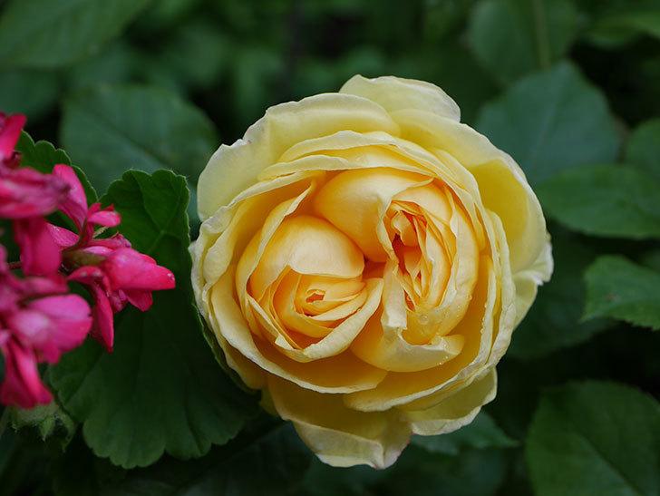 パトラッシュ(Patrache)の花が綺麗に咲いた。半ツルバラ。2021年-003.jpg