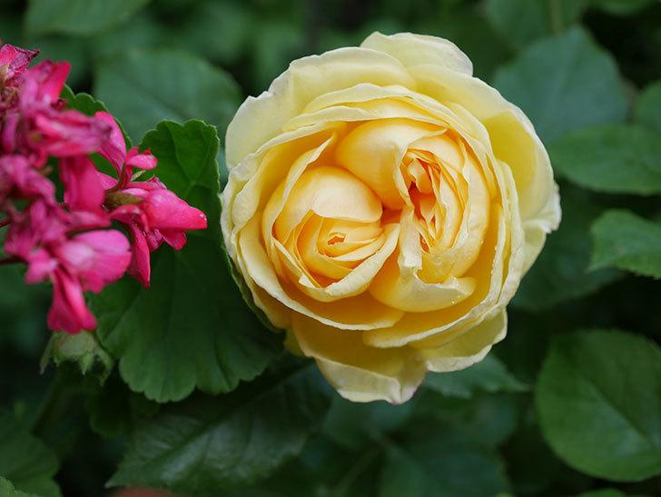 パトラッシュ(Patrache)の花が綺麗に咲いた。半ツルバラ。2021年-004.jpg