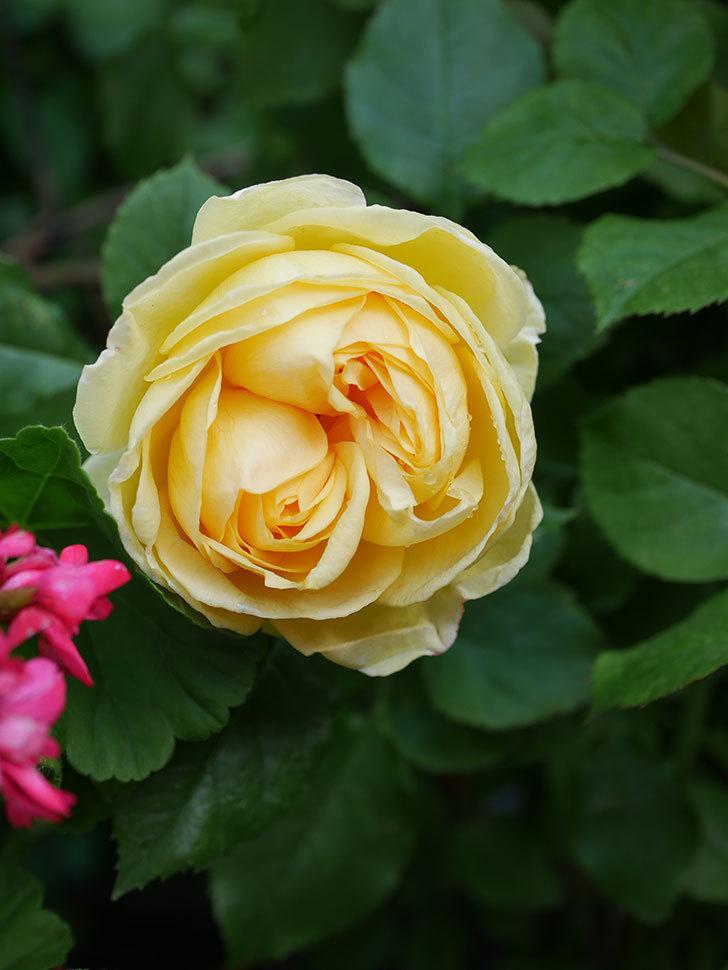 パトラッシュ(Patrache)の花が綺麗に咲いた。半ツルバラ。2021年-006.jpg