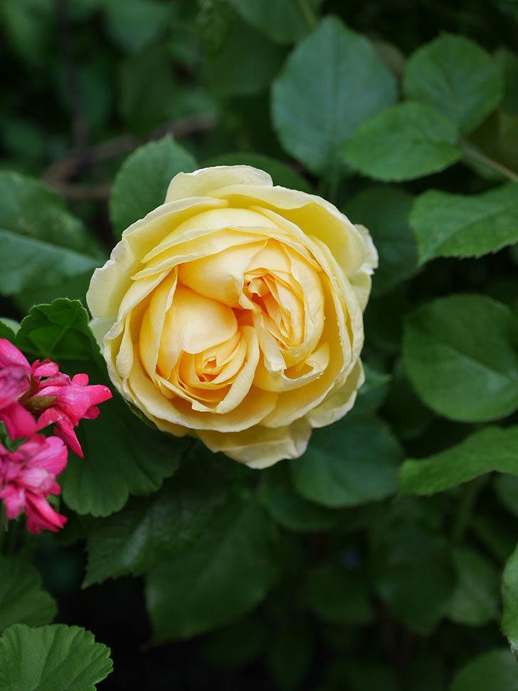 パトラッシュ(Patrache)の花が綺麗に咲いた。半ツルバラ。2021年-007.jpg