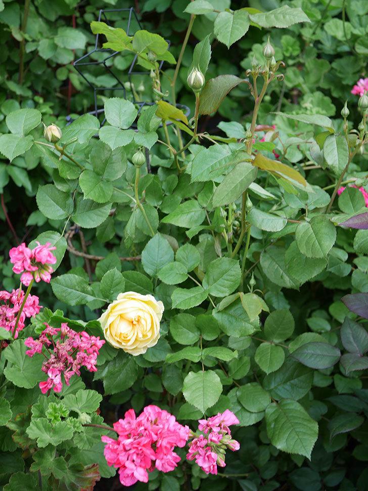 パトラッシュ(Patrache)の花が綺麗に咲いた。半ツルバラ。2021年-008.jpg