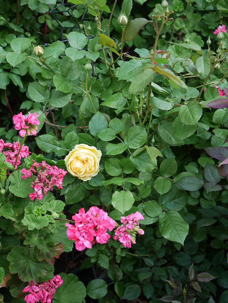 パトラッシュ(Patrache)の花が綺麗に咲いた。半ツルバラ。2021年-009.jpg