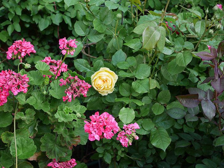 パトラッシュ(Patrache)の花が綺麗に咲いた。半ツルバラ。2021年-010.jpg