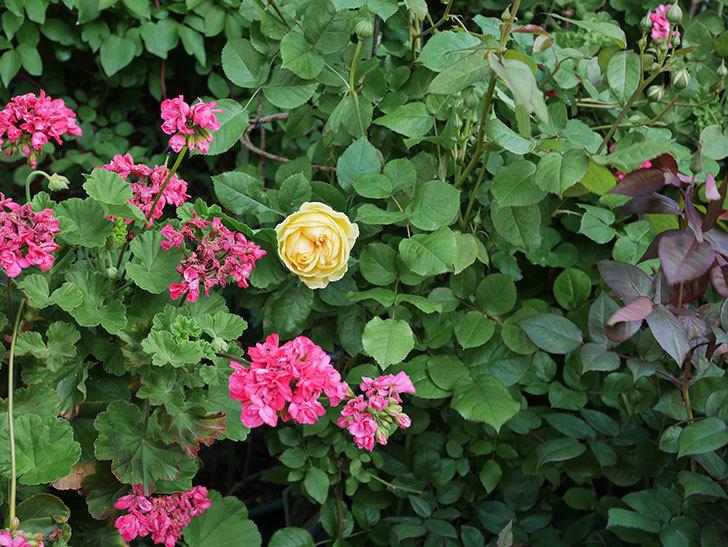 パトラッシュ(Patrache)の花が綺麗に咲いた。半ツルバラ。2021年-011.jpg