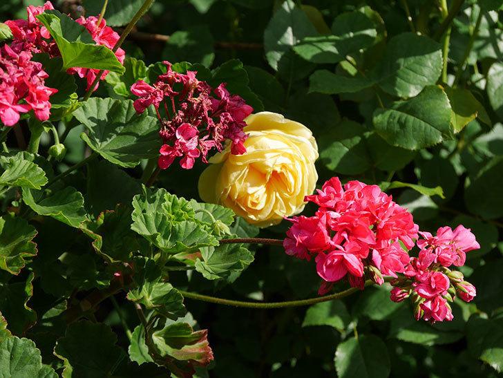 パトラッシュ(Patrache)の花が綺麗に咲いた。半ツルバラ。2021年-012.jpg