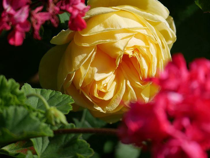 パトラッシュ(Patrache)の花が綺麗に咲いた。半ツルバラ。2021年-013.jpg