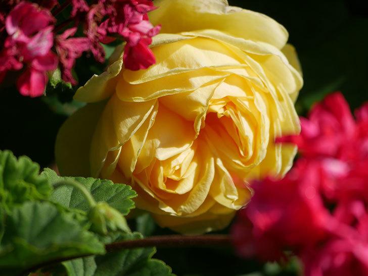 パトラッシュ(Patrache)の花が綺麗に咲いた。半ツルバラ。2021年-014.jpg