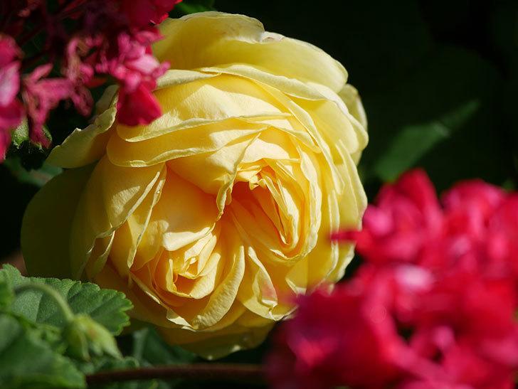 パトラッシュ(Patrache)の花が綺麗に咲いた。半ツルバラ。2021年-015.jpg