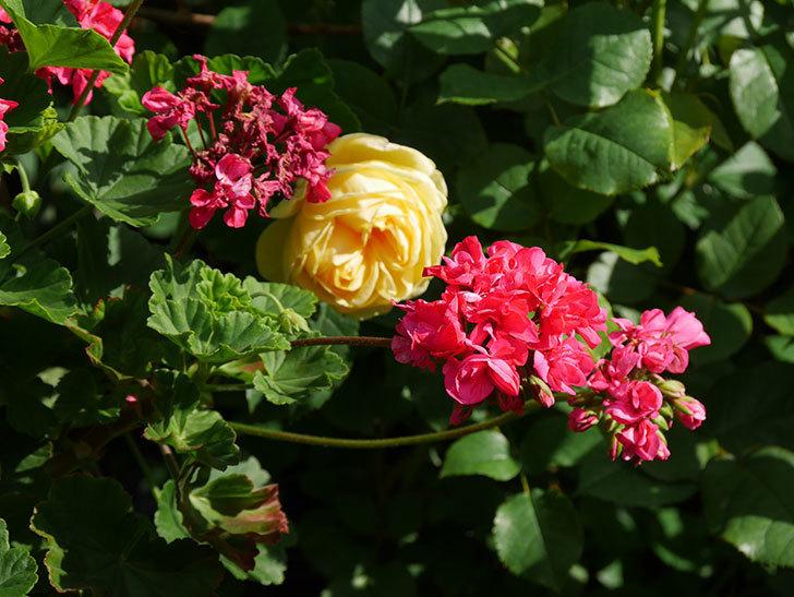 パトラッシュ(Patrache)の花が綺麗に咲いた。半ツルバラ。2021年-016.jpg