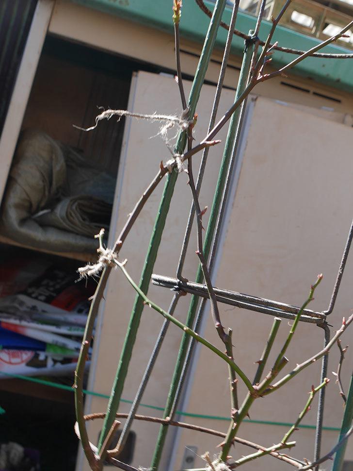パトラッシュ(Patrache)を植え替えてからオベリスクに誘引をした。半ツルバラ。2021年-015.jpg