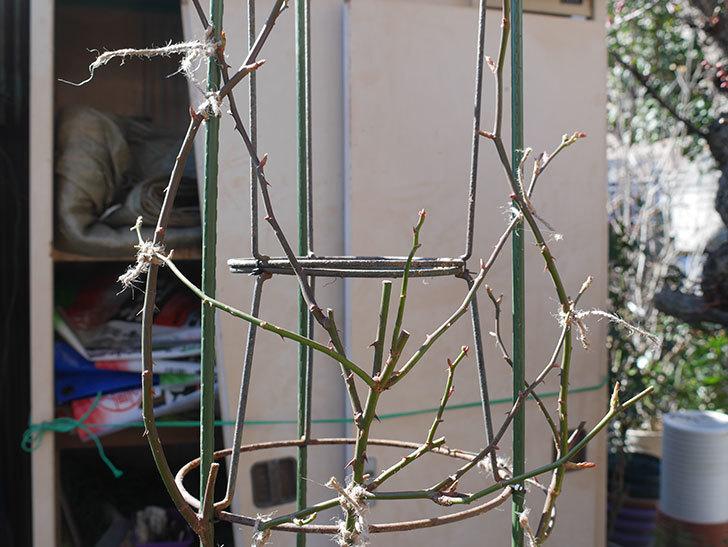 パトラッシュ(Patrache)を植え替えてからオベリスクに誘引をした。半ツルバラ。2021年-017.jpg