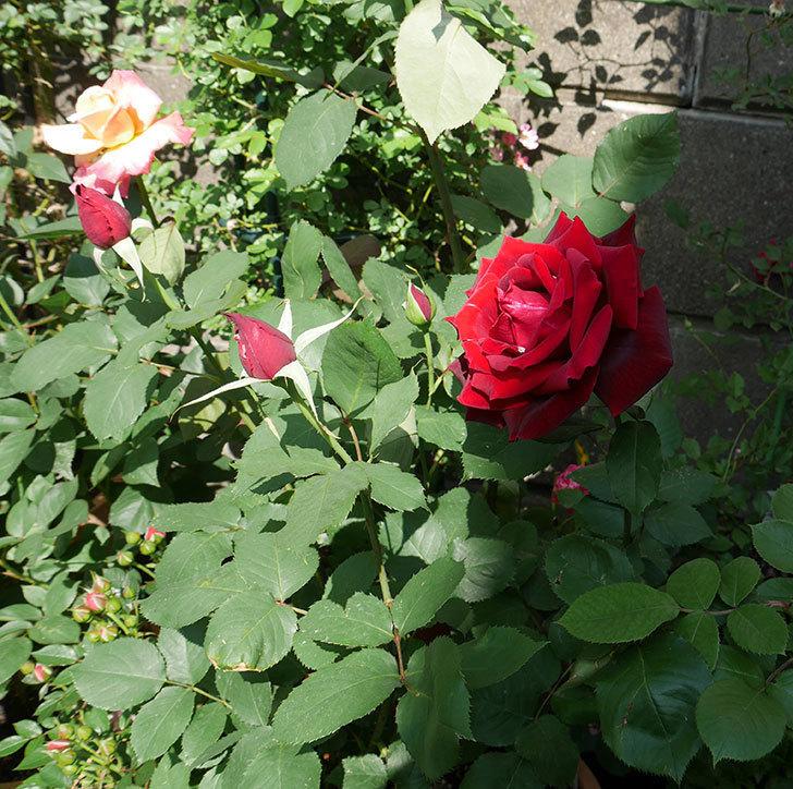 パパ・メイアン(木立バラ)にでかい花が咲いた。2018年-6.jpg