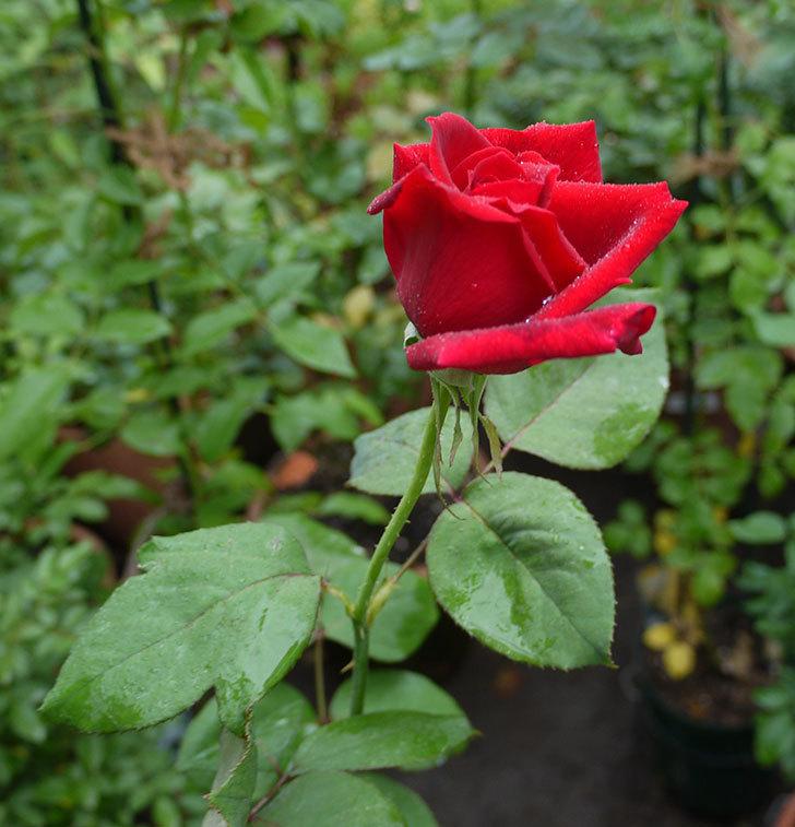 パパ・メイアン(木立バラ)の2番花がまた咲いた。2016年-2.jpg