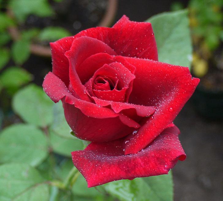 パパ・メイアン(木立バラ)の2番花がまた咲いた。2016年-3.jpg