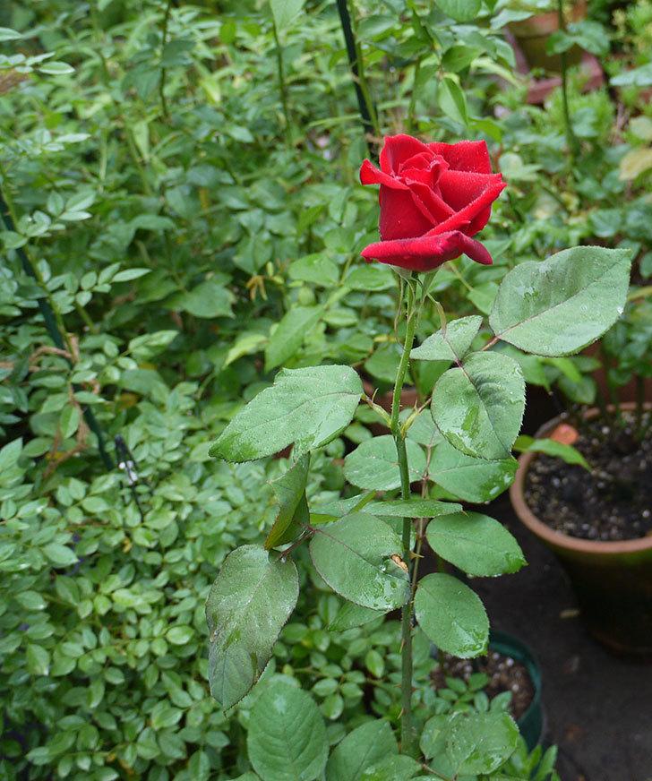 パパ・メイアン(木立バラ)の2番花がまた咲いた。2016年-4.jpg
